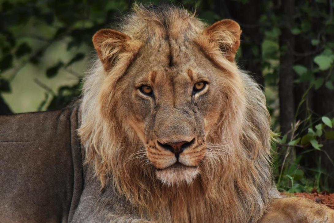 Lejohanne ligger och vilar i nationalpark i Sydafrika